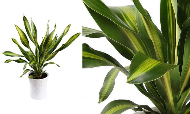 dracena-plantas-ideais-para-apartamentos