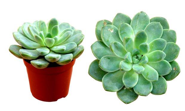 echeveria-plantas-ideais-para-apartamentos