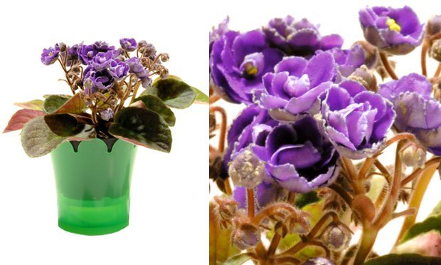 violeta-plantas-ideais-para-apartamentos
