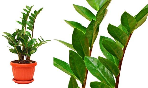 zamioculca-plantas-ideais-para-apartamentos