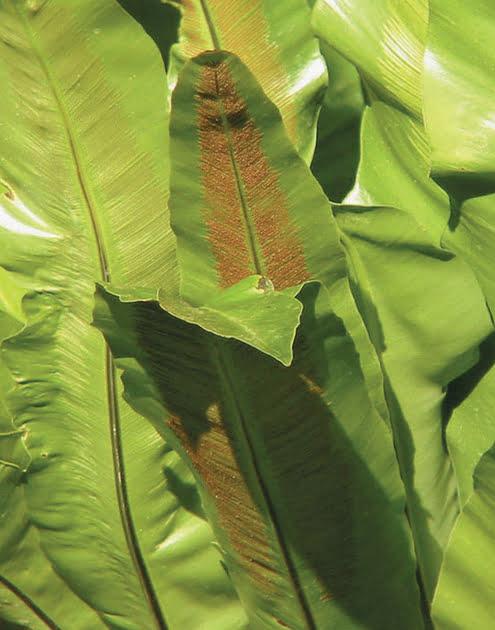 Asplênio. As folhas nascem enroladas no centro dessa samambaia de origem asiática (Asplenium nidus L.) até assumirem grandes dimensões – chegam a ter 90 cm de extensão. Logo, só os ambientes de medidas mais generosas conseguem acomodar a espécie, que vai sobre o piso. Prefira alocá-la em um canto sombreado, perto da janela. Molhe-a a cada três dias, de modo que fique sempre úmida. Para repor os nutrientes, varie entre adubo granulado do tipo NPK 10-10-10, dissolvido em água, e fertilizante orgânico a cada quatro meses.