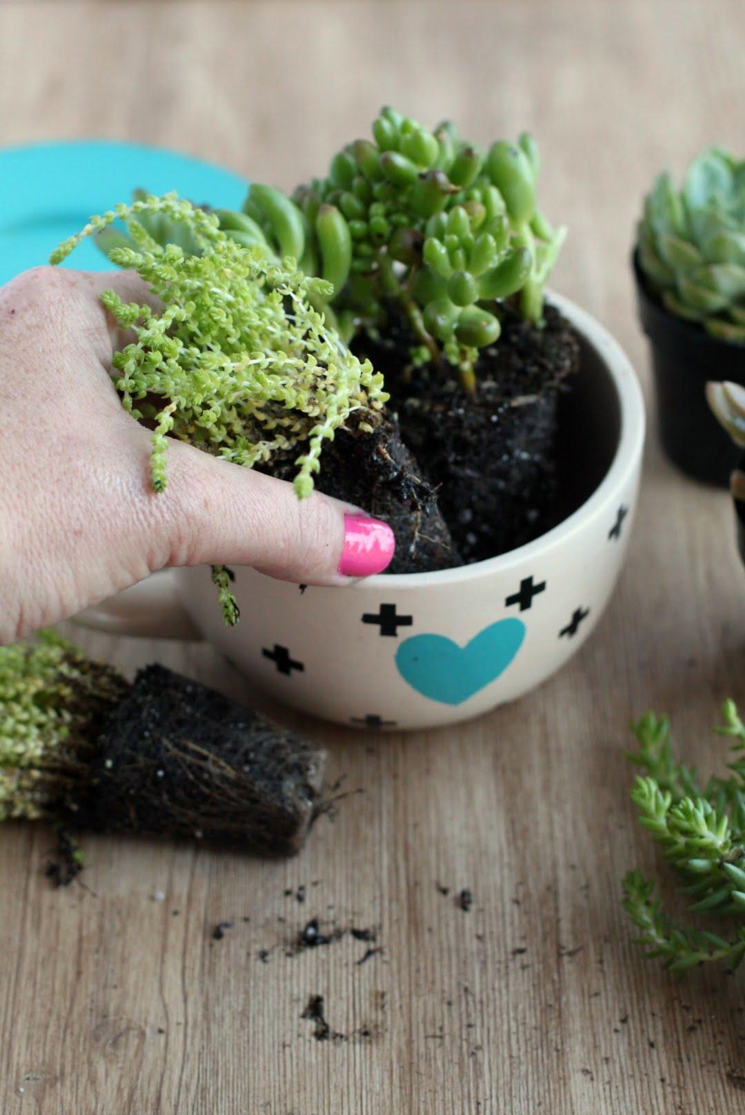 Suculentas-em-xícaras-plantando